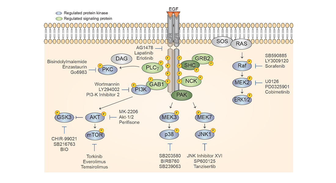 Kinase inhibitor screen